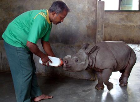 rhino-being-fed-cwrc-rinku