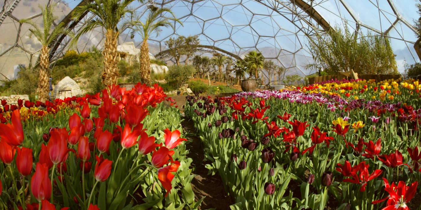 Tulips in the Eden Project Med biomo
